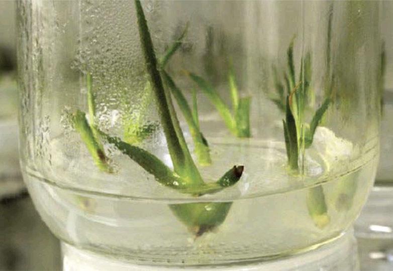 Plantas de agave cultivadas in vitro como una forma de enfrentar el reto que presenta el cambio climático. Via: Milenio León