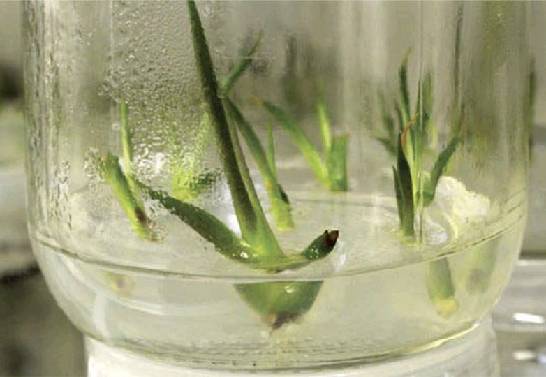 Agave plants grown in vitro as a way to protect against climate exposure. Via: Milenio León